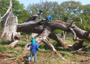 Børn klatrer på væltet træ