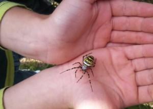 Edderkop på barnehånd