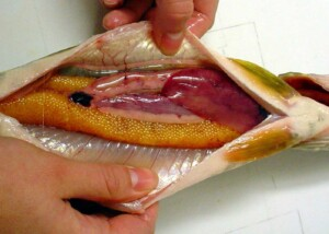 Fisk renses