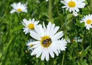 Bi på blomst